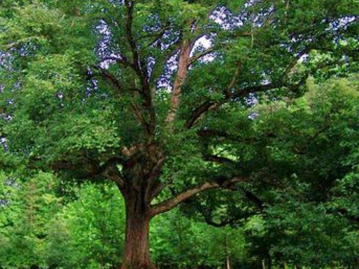 Tipo de árbol según tu cumpleaños, cedro