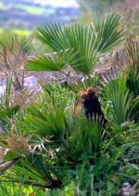 Chamaerops palmera