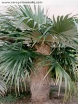 Coccotrinax palmera