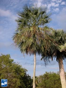 Copernicia palmera