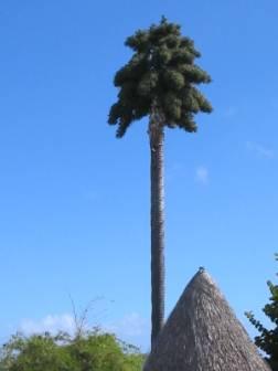 Corypha palmera