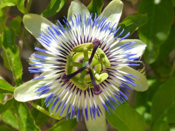 Pasionaria (Passiflora caeruela)