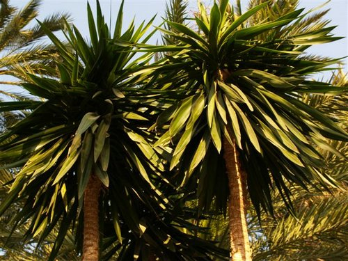 Jardiner a plantas de interior yuca for Planta yuca exterior