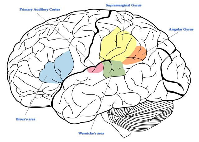 Idiomas y cerebro