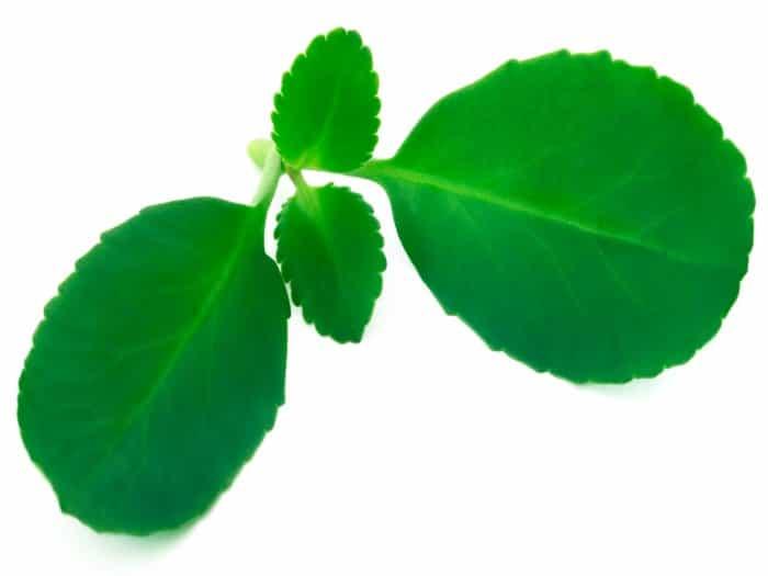 Uso medicinal del Kalanchoe