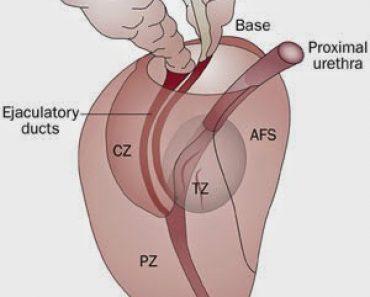Zonas de la próstata