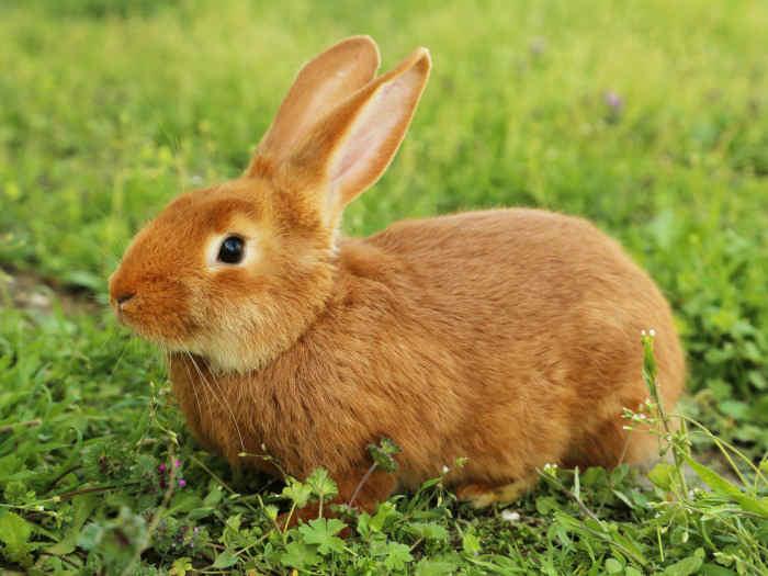 Soñar con un Conejo