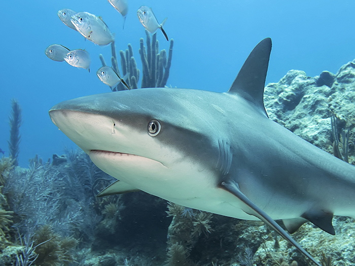 soñar con tiburon