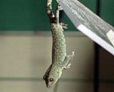 cinta_gecko