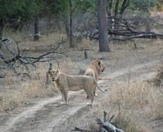 leones-singita